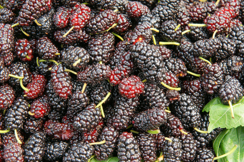 Mulberry fruits. The background of mulberry fruits stock images