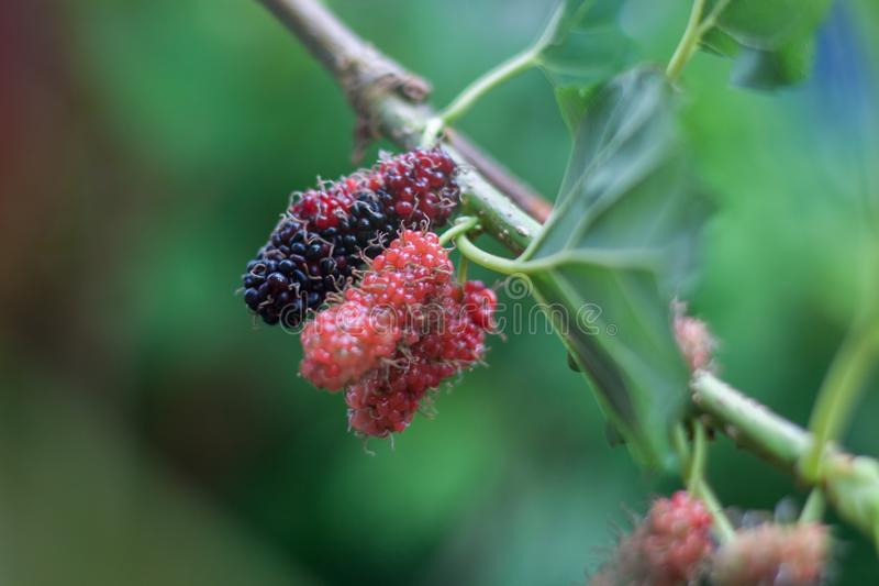 Mulberry fruits on a branch. Thailand royalty free stock image