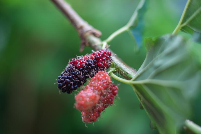 Mulberry fruits on a branch. Thailand stock image