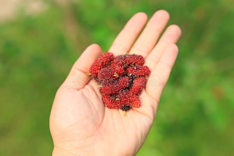 Mulberry fruits on hand. Organic fruit.  stock photos