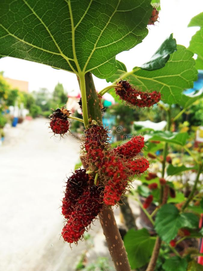 Mulberry fruits on plant. And blurred background stock image