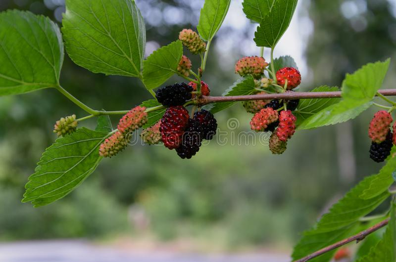 Mulberry fruits on a tree branch with leaves. On a green background, closeup royalty free stock images