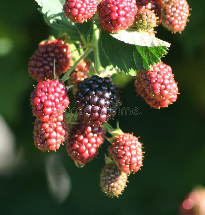 Mulberry in a garden stock photo