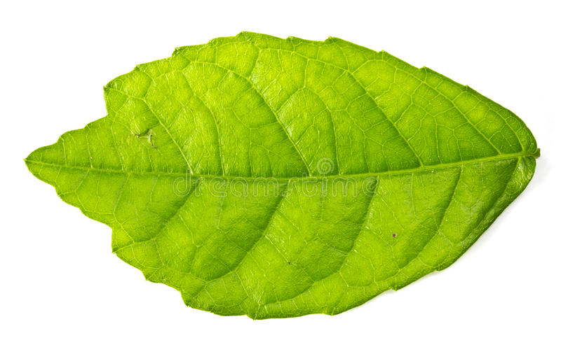 Download Mulberry leaf isolated stock photo. Image of aroma, background - 35326414