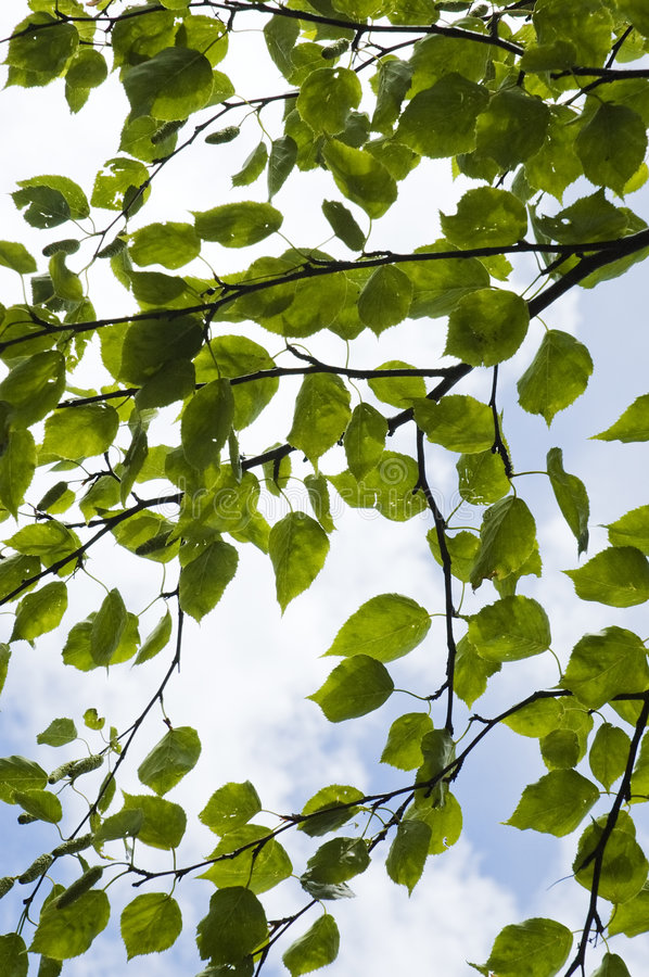 Mulberry leaves stock photography