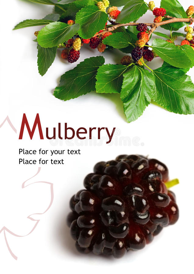 Free Mulberry (Morus) Stock Images - 19158604