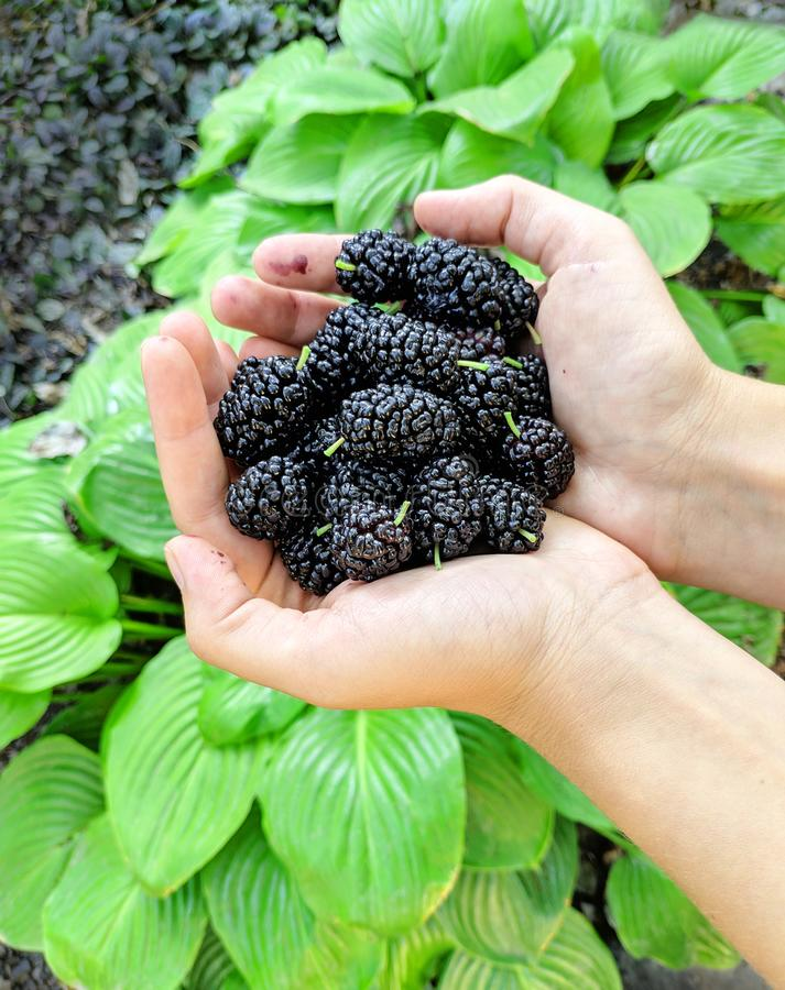 Mulberry Object in Women Hands. Giant Mulberry Object in Women Hands royalty free stock photo