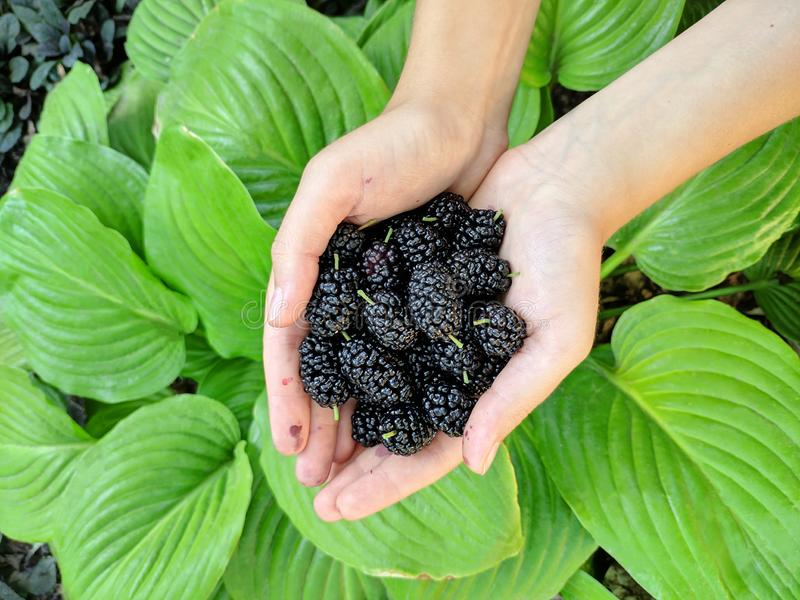 Mulberry Object in Women Hands. Giant Mulberry Object in Women Hands stock photo