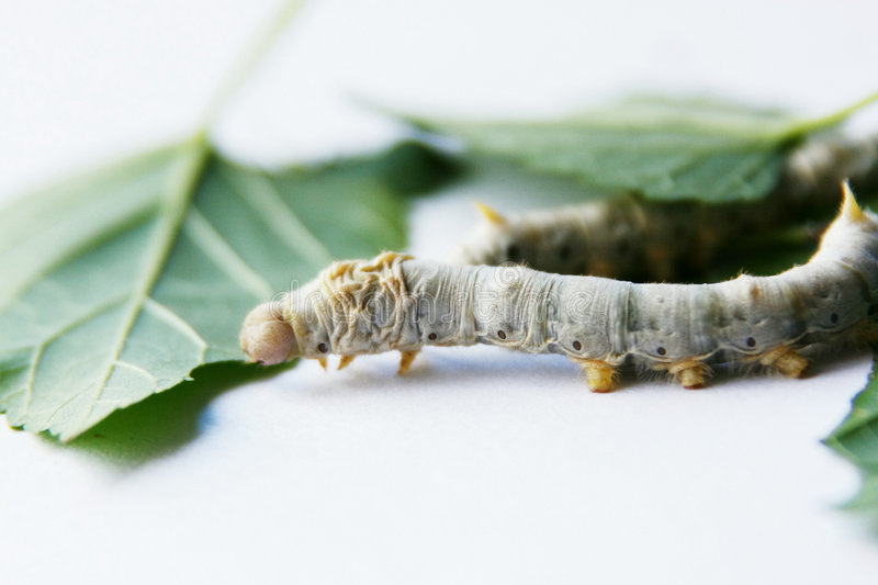 Mulberry silkworm. To grow mulberry silkworm has age-old history in China. Silkworm is an insect and there are four shedding in its life. White mulberry's royalty free stock photos