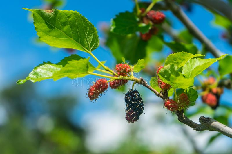Mulberry on tree is Berry fruit in nature royalty free stock photography