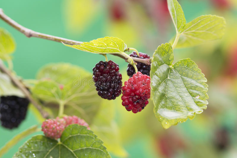 Mulberry Tree stock photography