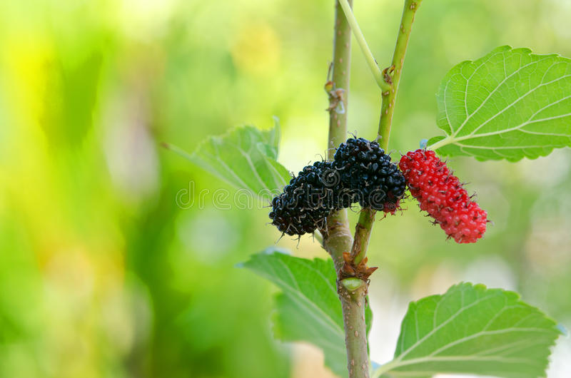 Mulberry tree royalty free stock photos
