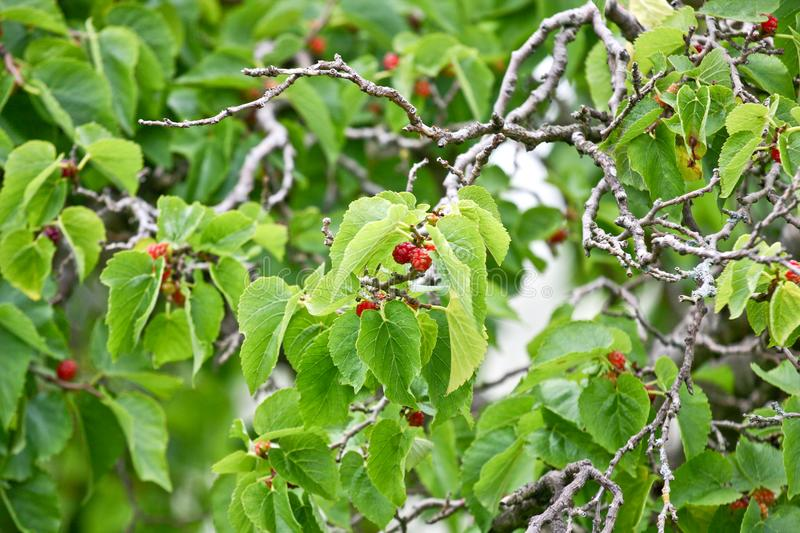 Mulberry tree with red fruits. Red Mulberry fruits on the tree royalty free stock images