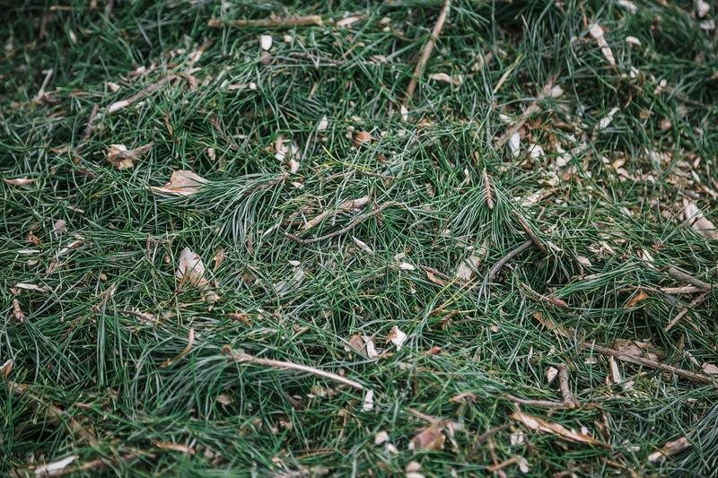 Mulch background. Sawdust with Christmas tree needles in forest. stock photography