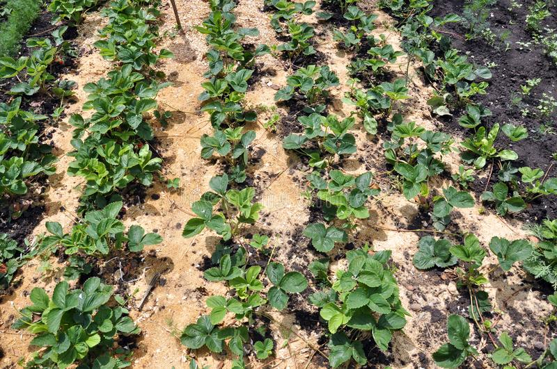 Mulching the fillet of the intermediate row of strawberries. Mulching with the fillet of the intermediate row of strawberries to protect the soil from drying out stock image