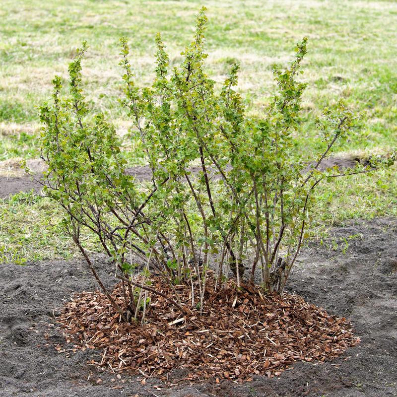 Download Mulching. Gooseberry Is Covered By A Mulch Stock Photo - Image: 25449310