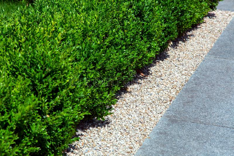 Mulching with pebbles near the green hedge. The Mulching with pebbles near the a green hedge, close-up landscape design stock image