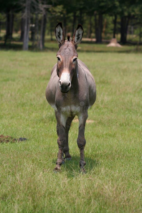 Mule stock photos
