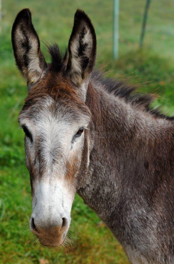 mule royaltyfri foto