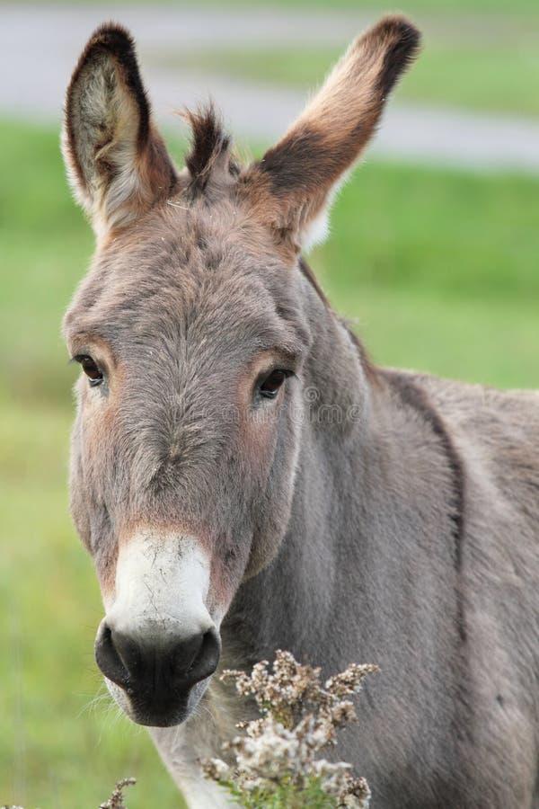 Mule royalty free stock photos