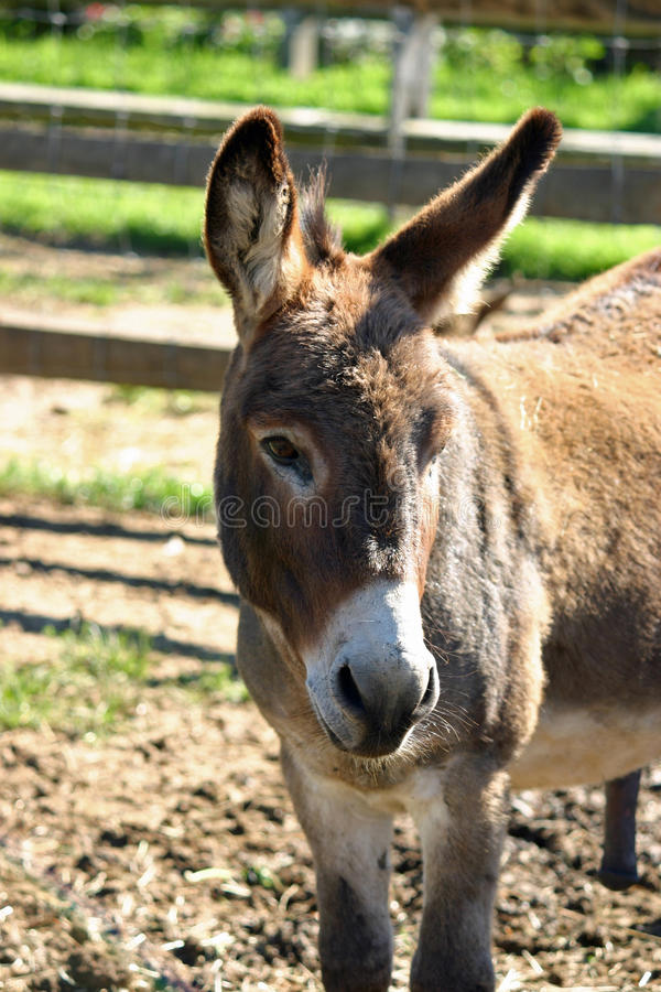 Mule royalty free stock photography