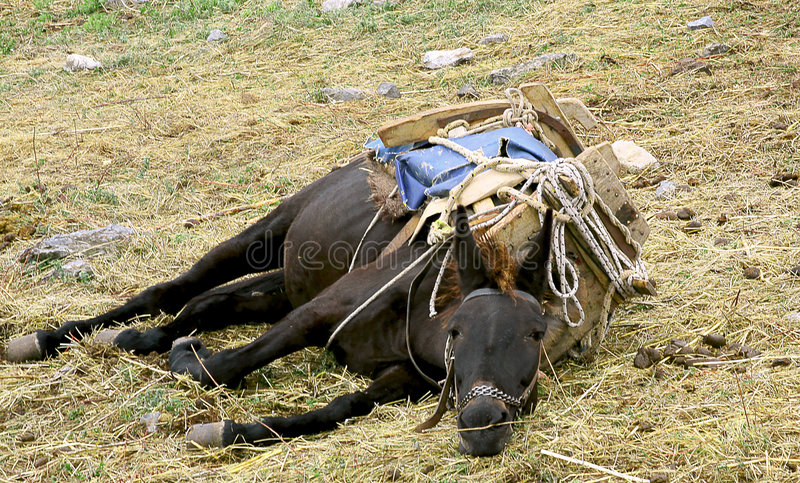 Download Mule stock image. Image of death, pack, rest, nausea, burden - 6629451