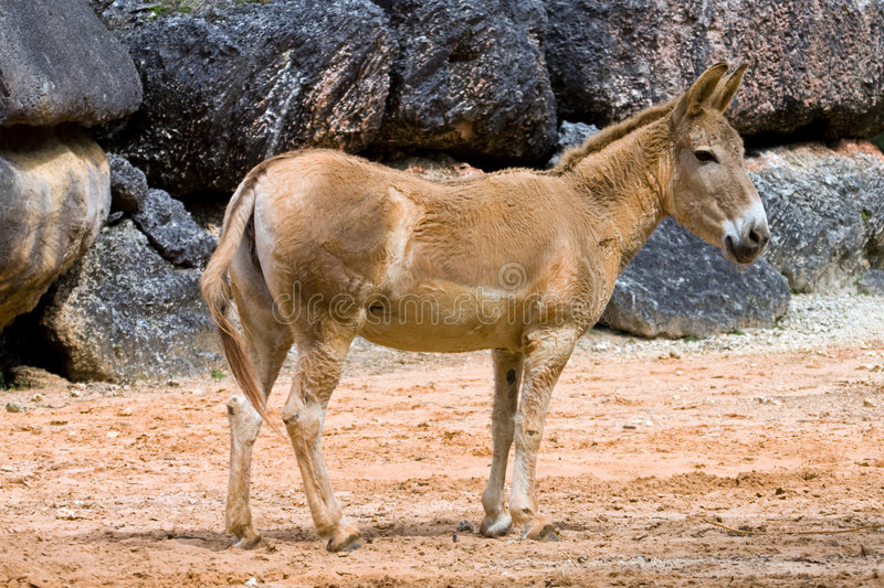Mule images stock