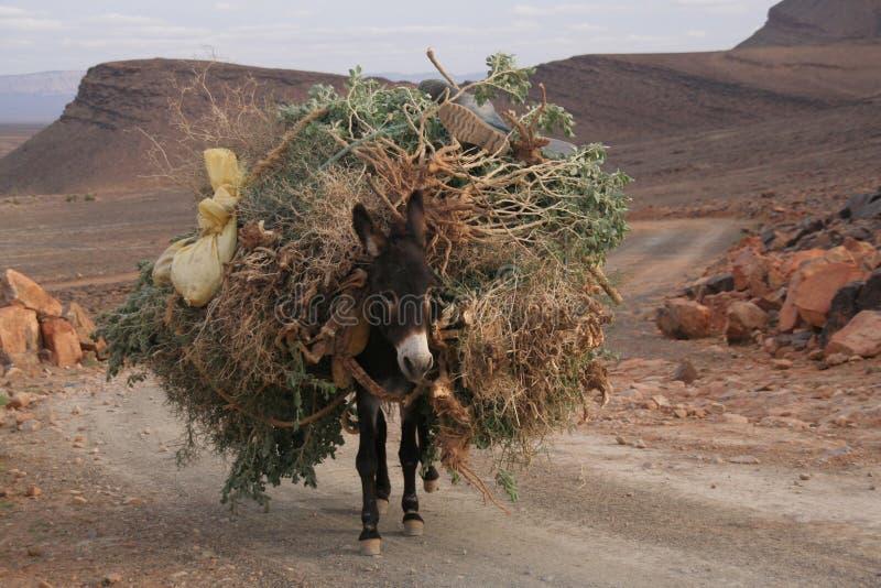 Mule in Atlas royalty free stock photo