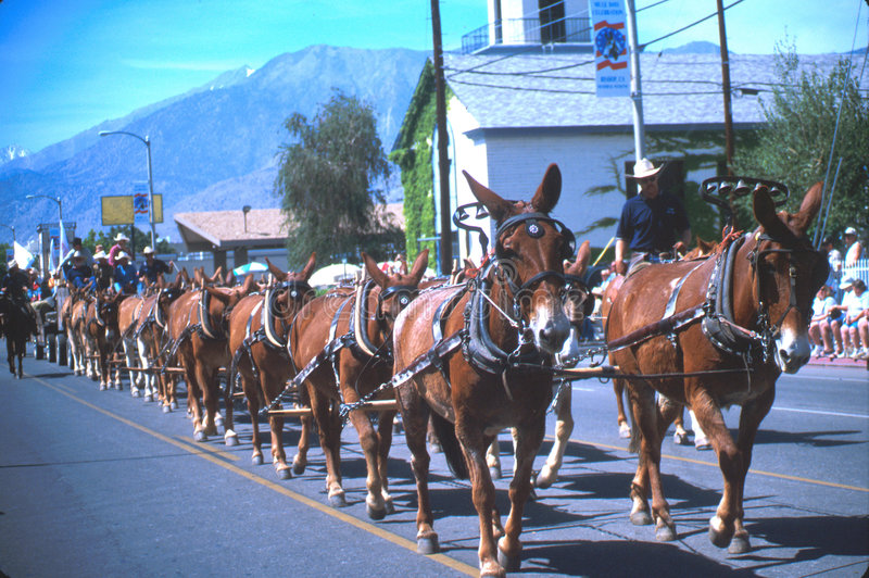 Mule days royalty free stock images