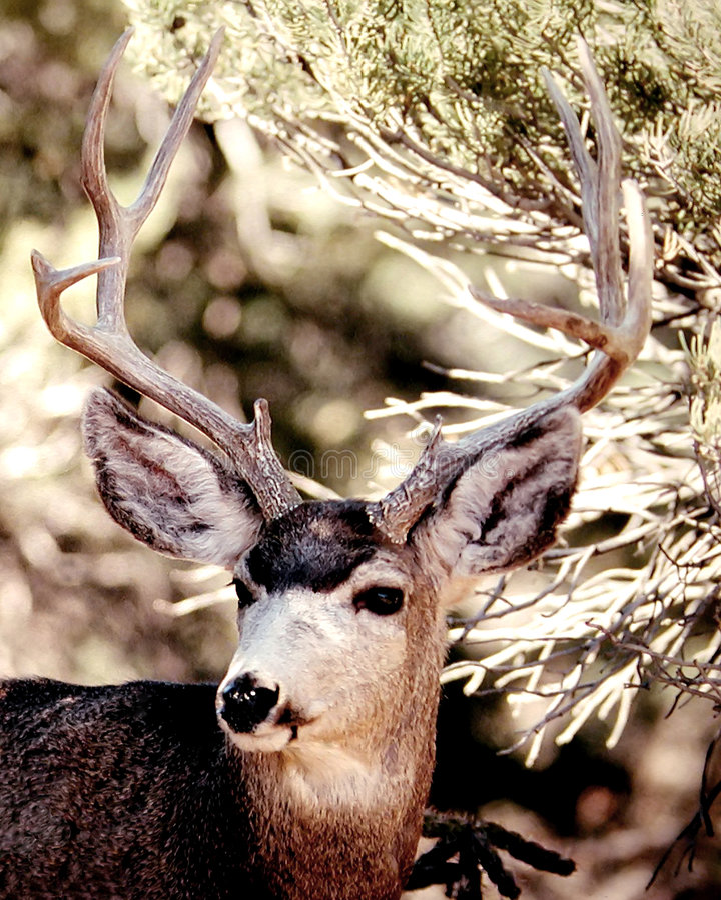 Mule Deer. Buck mule deer among pine trees, Fremont County, Colorado royalty free stock images
