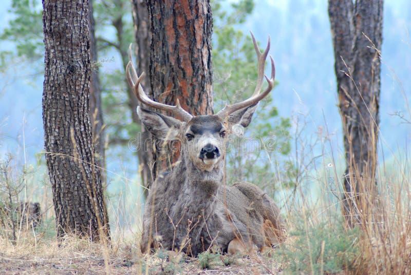 Mule Deer. Shot of Mule Deer buck taken in New Mexico stock photography