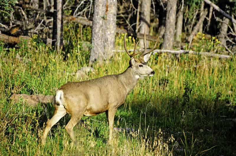 Download Mule Deer stock photo. Image of buck, hemionus, male - 21893166