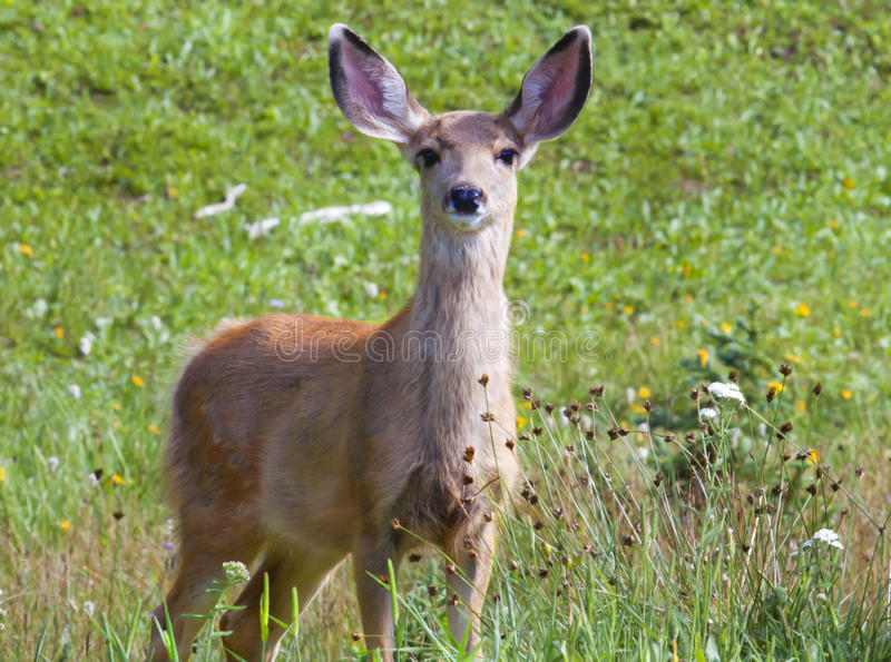 Mule Deer. In Rocky Mountain National Park, Colorado stock images