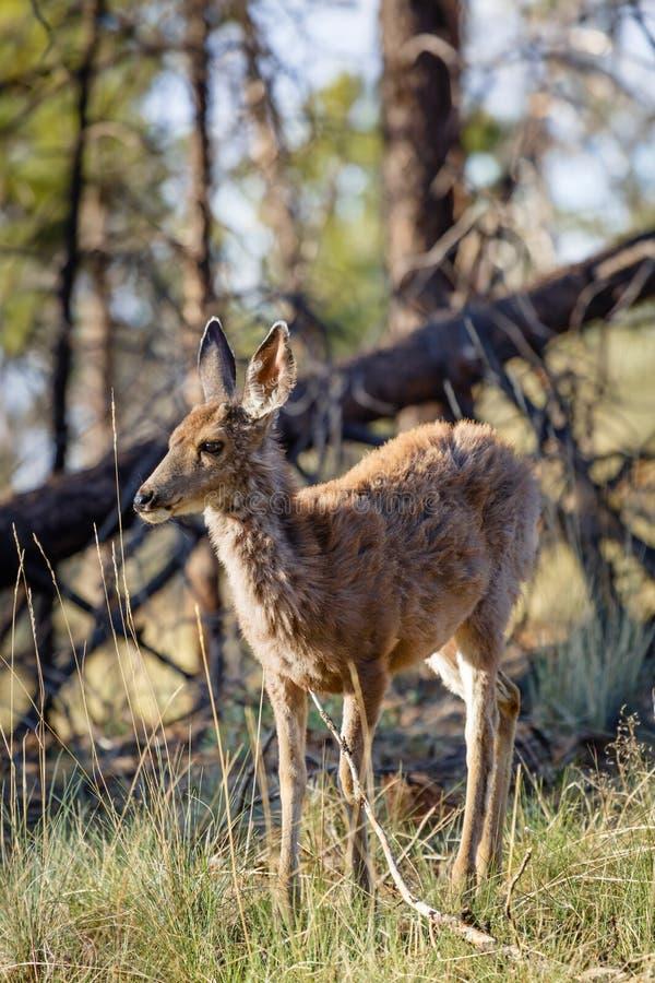Mule deer. Female wild mule deer Odocoileus hemionus in a woodland setting, Bryce Canyon NP, Utah royalty free stock images