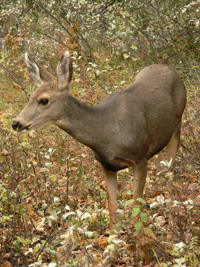 Mule Deer. During Autumn at Fish Creek Park, Calgary, Alberta, Canada stock image