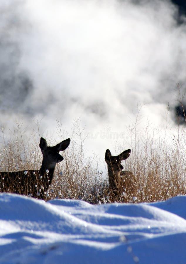 Mule deer. A pair of mule deer stock photo