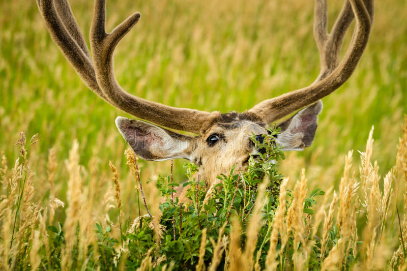 Mule Deer. Large mule deer buck nibbling on small brush in field of tall grass with antlers in full summer velvet stock photo