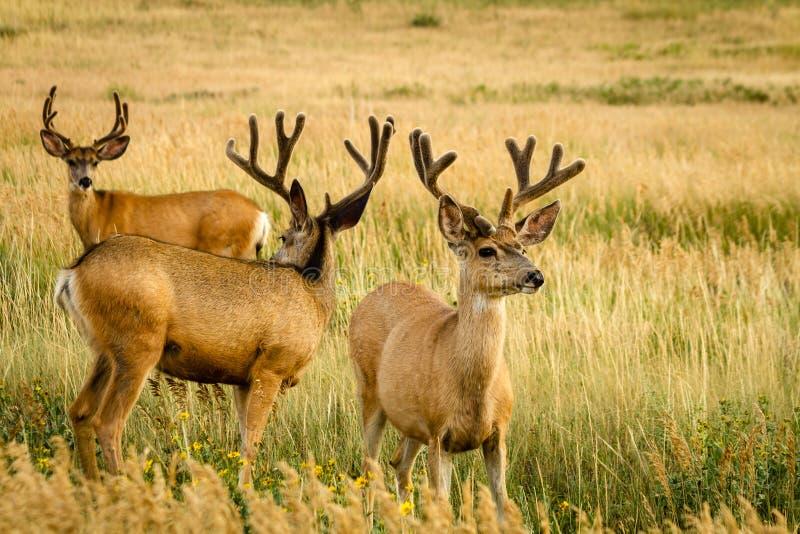 Mule Deer. 3 large mule deer bucks with antlers in full summer velvet grazing in tall grass stock image