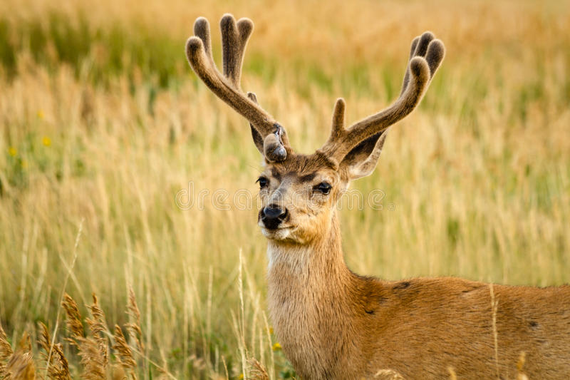 Mule Deer. Close up of young male mule deer with antlers in full summer velvet stock photography
