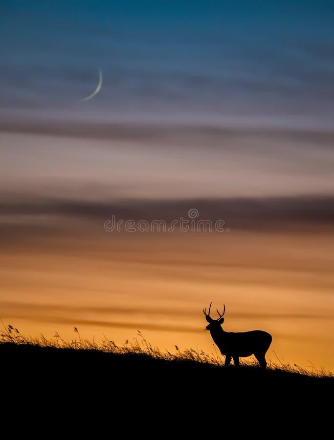 Free Mule Deer At Sunset In Alberta Canada Stock Photography - 162882382
