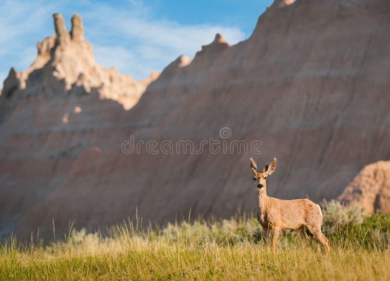 Download Mule Deer With Badlands Background Stock Image - Image: 27190495