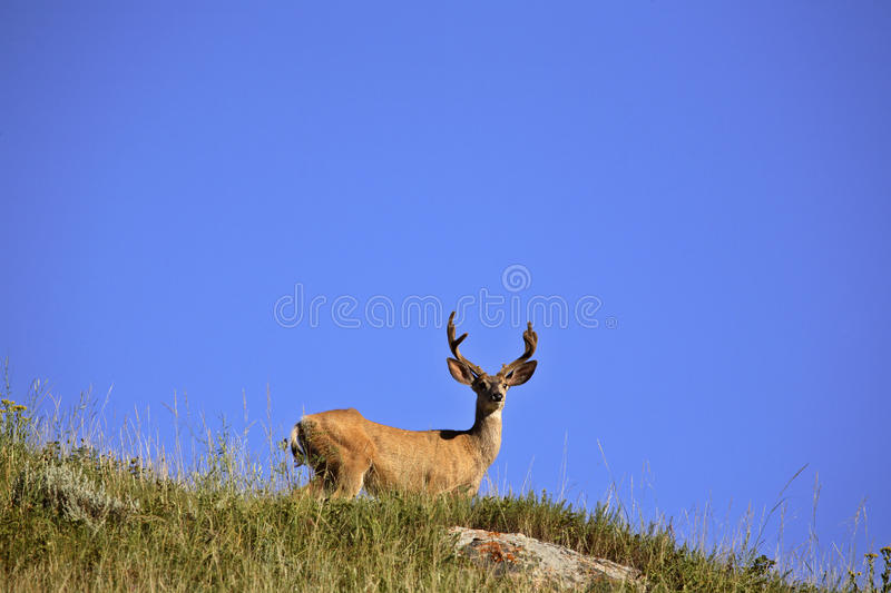 Download Mule Deer buck stock photo. Image of wildlife, rural - 15787064