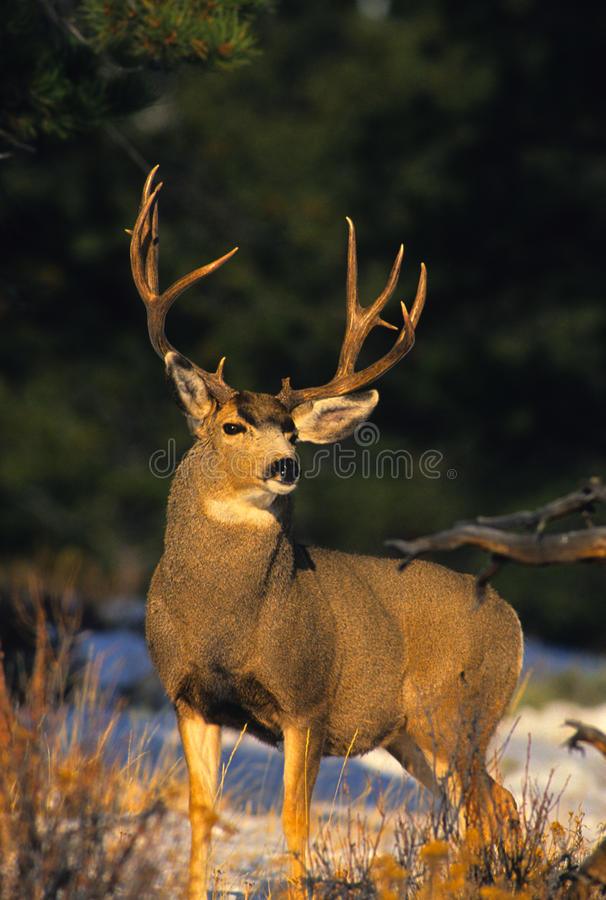 Download Mule Deer Buck stock image. Image of winter, deer, mammal - 16530623