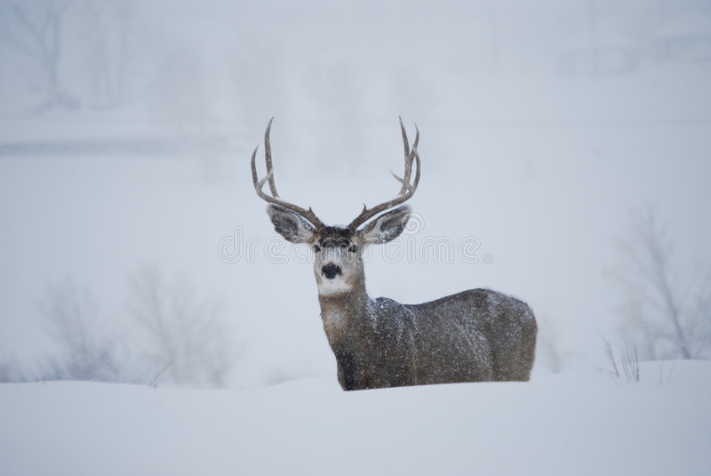 Download Mule Deer Buck stock image. Image of white, storm, antlers - 5411237