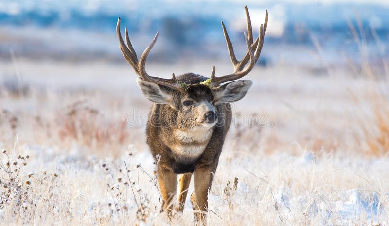 An Enormous Mule Deer Buck on a Cold Morning After a Snowstorm. Mule Deer Buck Foraging for Food Following Previous Night`s Snowfall stock images