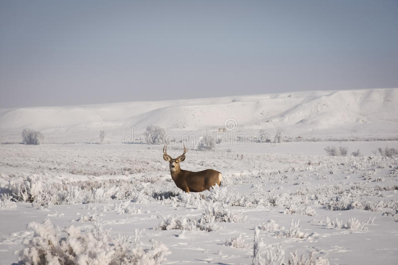 Mule Deer Buck With Misty Winter Background. In Northwest Colorado stock photography