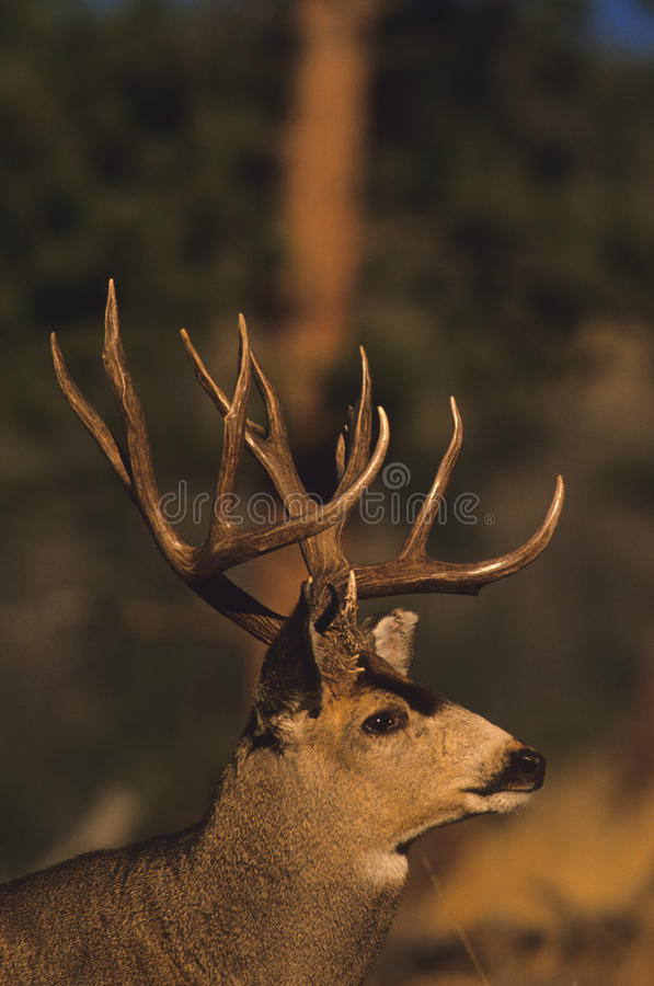 Download Mule Deer Buck Portrait stock image. Image of west, mule - 10746237