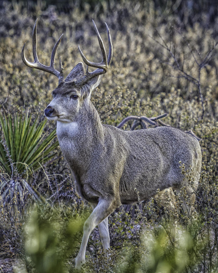 Mule Deer Buck Pose in Desert. A mule deer buck stopped to pose with leg lifted in the deer. he has maybe 10 prongs on his rack and is quite sedate stock image