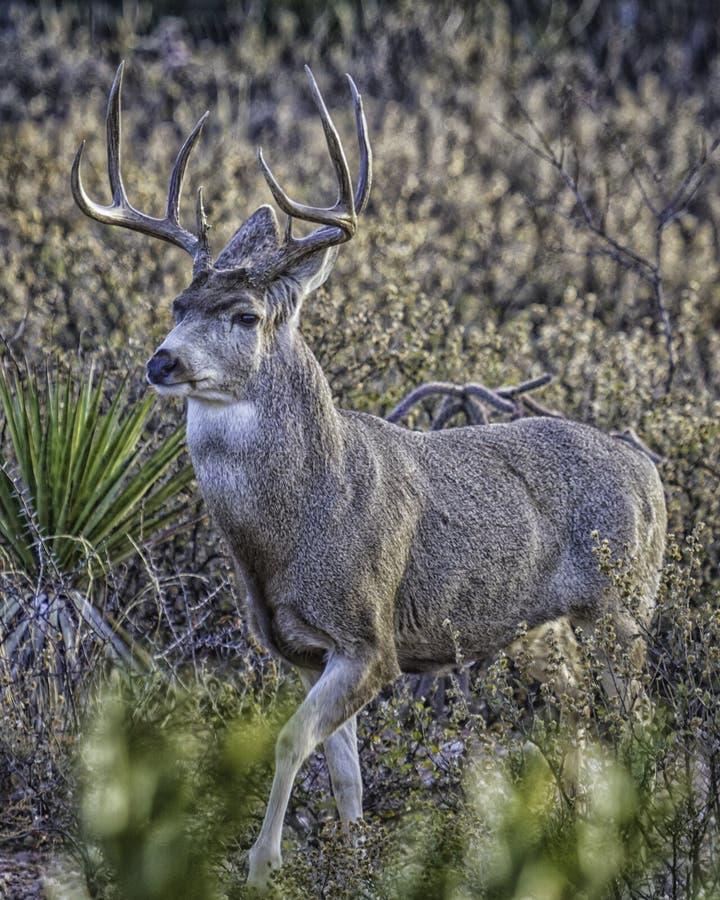 Free Mule Deer Buck Pose In Desert Stock Image - 50666621