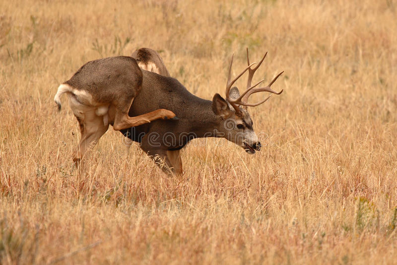 Mule Deer Buck Scratching Itch. A 10-point Mule Deer buck scratching an itch in a Colorado field stock image